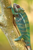 Panther chameleon in Madagascar Stock Images