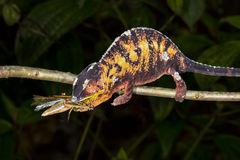 Panther chameleon, marozevo Stock Photography