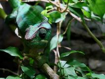 Panther Chameleon in Natural Setting. Panther chameleon, Furcifer Pardalis, in natural setting on tree branch blending into surrounding green leaves, natural royalty free stock photos