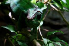 Panther Chameleon in Natural Setting. Panther chameleon, Furcifer Pardalis, in natural setting blending into surrounding green leaves, natural camouflage royalty free stock photos