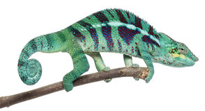 Panther Chameleon Nosy Be Stock Images