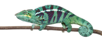 Panther Chameleon Nosy Be, Furcifer pardalis Stock Photos