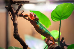 The Panther Chameleon reaches for a tree branch. Zoo Of Saint-Petersburg, Russia Stock Photo