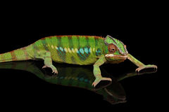 Panther chameleon, reptile with colorful body on Black Mirror, Isolated. Panther chameleon, reptile with colorful body resting on Black Mirror, Isolated Royalty Free Stock Photography
