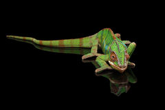 Panther chameleon resting on Black Mirror with tail , Isolated Stock Images