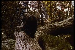 Panther climbing down tree stock video
