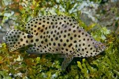 Panther fish   (Cromileptes altivelis) Royalty Free Stock Image