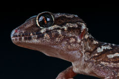 Panther gecko Royalty Free Stock Photo