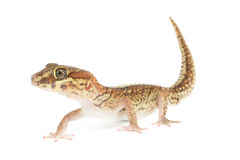 Panther Gecko. Paroedura pictus, Isolated on White royalty free stock photo