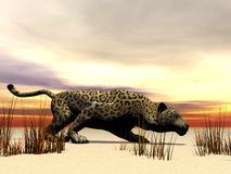 Panther and grass Stock Photos