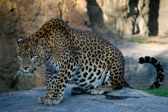 Panther hunting in africa. African panther hunting in safari Royalty Free Stock Photography