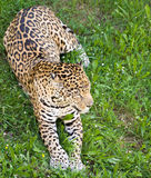 Panther leopard Stock Images