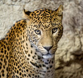 Panther or leopard Stock Photo