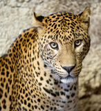 Panther (leopard) Royalty Free Stock Images