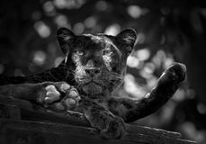 Panther or leopard in the zoo. Panther or leopard sit on the timber stock images