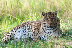 Panther. Lieing in grass and shade looking at camera Royalty Free Stock Image