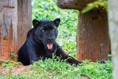 Panther. Lying open mouth along the tree Royalty Free Stock Photo
