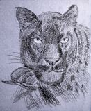 Panther Royalty Free Stock Images