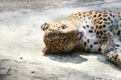 Panther. Stock Photos