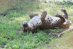 Panther. Stock Image