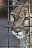 Panther in Prison. Close up view of the face of a Florida Panther staring into the distance. Shot against a slightly mottled green background Royalty Free Stock Photo