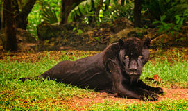 The panther on a rest Royalty Free Stock Photo
