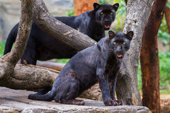 Panther. Two panther in a tree looking for food Royalty Free Stock Image
