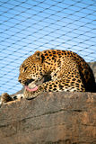 Panther in a Zoo Royalty Free Stock Photos