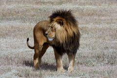 panthera λιονταριών leo Στοκ εικόνες με δικαίωμα ελεύθερης χρήσης
