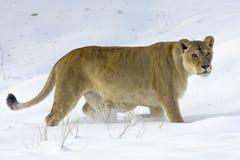 panthera λιονταρινών leo Στοκ Εικόνες