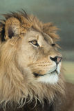 panthera льва leo стоковое фото