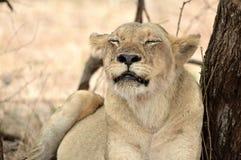 panthera львицы leo Стоковые Фото