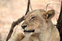panthera львицы leo Стоковое Изображение