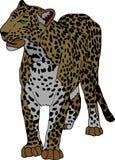 Panthera Royalty Free Stock Photo