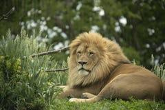 Panthera africain captif Lion de lion photos stock