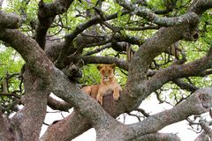 Panthera africain est Lion de lionne dans un arbre Image libre de droits