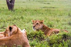 Panthera africain est Lion de lionnes dans l'herbe Image stock