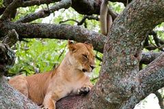 Panthera africain est Lion de lionnes dans un arbre Photos libres de droits