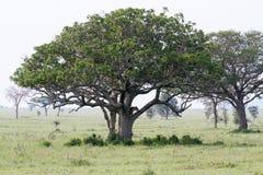 Panthera africain est Lion de lionnes dans un arbre Photos stock