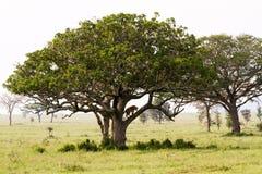 Panthera africain est Lion de lionnes dans un arbre Photographie stock libre de droits
