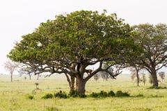 Panthera africain est Lion de lionnes dans un arbre Image stock