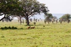 Panthera africain est Lion de lionnes en parc national de Serengeti, Tanzanie Photos libres de droits