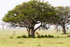 Panthera africain est Lion de lionnes sautant d'un arbre Photographie stock libre de droits
