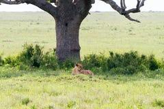 Panthera africain est Lion de lionnes sous un arbre Photos libres de droits