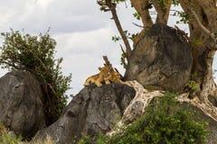 Panthera africana Leo dei cuccioli di leone su una roccia Immagini Stock