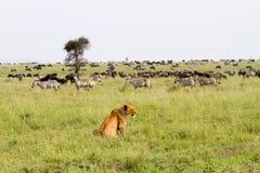 Panthera africana orientale Leo delle leonesse pronto per cercare le zebre e i wilderbeests immagine stock