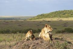 Panthera africano leo Nubica de la leona con su cachorro Foto de archivo libre de regalías