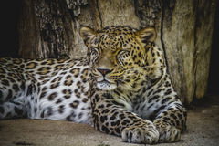 Panthera, beautiful and powerful leopard resting in the sun Royalty Free Stock Images