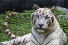 Panthera branco tigris do tigre Imagem de Stock
