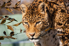 Panthera Royalty Free Stock Photos